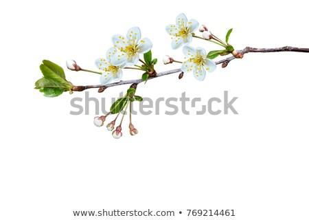 Fehér alma virágok ág izolált tavasz Stock fotó © tetkoren