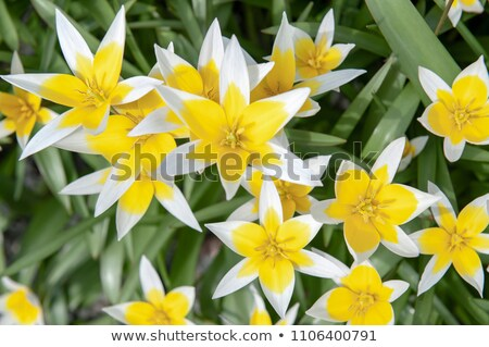 wild tulip Tulipa tarda Stock photo © LianeM