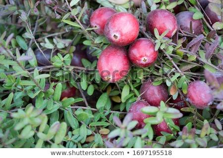 Cranberry plant Stock photo © brebca