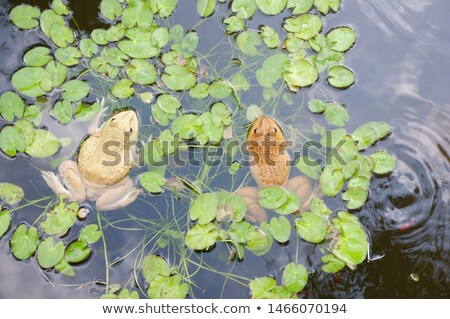 frogs spouses Stock photo © adrenalina