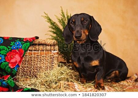 dachshund portrait in the white photo studio stock photo © vauvau