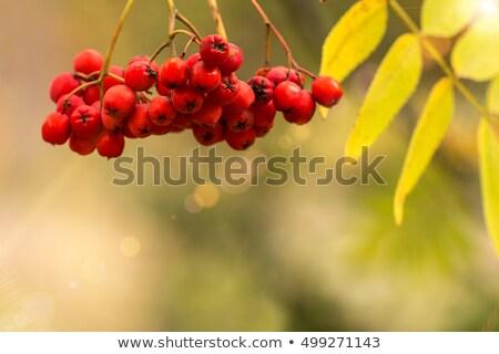 Rowan berriesin in autumn park. Stock photo © Valeriy