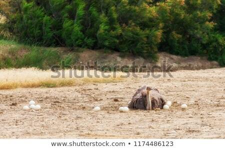 Ostrich Sitting Stock photo © derocz