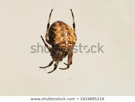 Duży pająk zwierząt nogi polowanie odizolowany Zdjęcia stock © Kidza