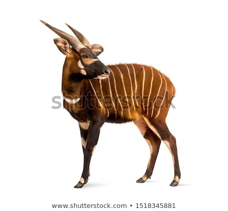 animal antelope bongo  Stock photo © OleksandrO