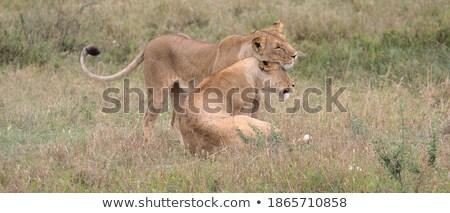 Two Lions bonding in the grass. Stock photo © simoneeman