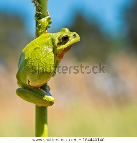 tree frog climbing on twigs Stock photo © taviphoto