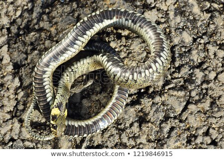 thanatosis behaviour, grass snake Stock photo © taviphoto
