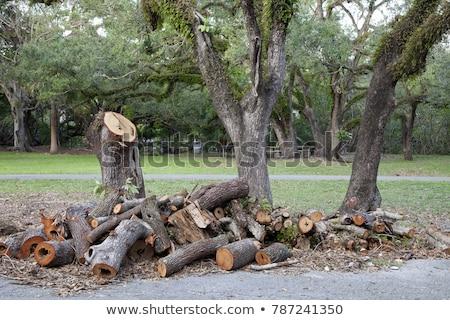 Stump from big removed tree Stock photo © vapi