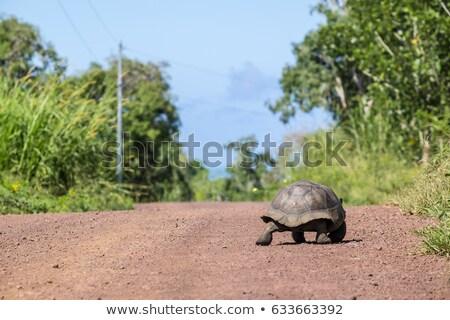 Galapagos Giant Tortoise walking slow on Santa Cruz Island in Galapagos Islands Stock photo © Maridav
