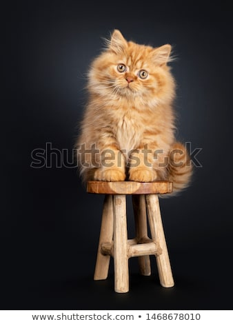 Fluffy red British Longhair kitten on black stock photo © CatchyImages