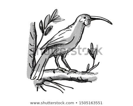 huia  New Zealand Bird Cartoon Retro Drawing Stock photo © patrimonio