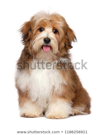 Retrato adorável havanese cão isolado preto Foto stock © vauvau