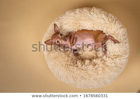 Adorable dog in bed  Stock photo © vkstudio
