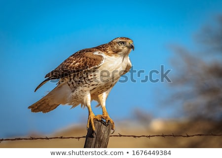 Foto stock: Falcão · chuva · árvore · pássaro · ramo