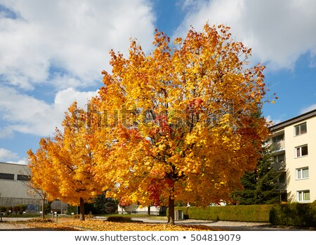canopy of japanese maple trees in the fall 2 stock photo © davidgn