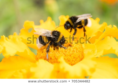 Two flowers and a Bee Stock photo © emattil