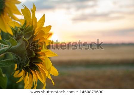 Zonnebloem dauw geïsoleerd exemplaar ruimte blad zomer Stockfoto © posterize