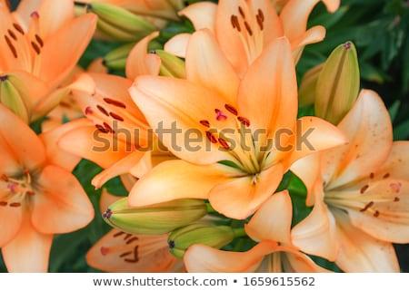 оранжевый Лилия аннотация пять зеленые листья Сток-фото © liliwhite