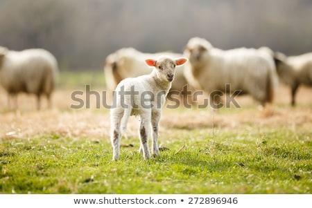 Sevimli genç koyun kuzu yeşil çayır Stok fotoğraf © samsem