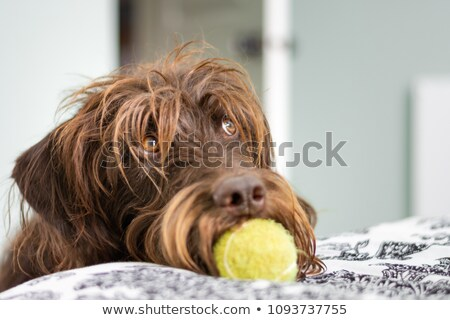 Labradoodle Dog Fetching the Ball Stock photo © Gordo25