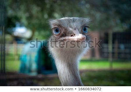 Emu Bird Portrait Stock photo © fouroaks