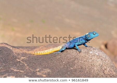 The african lizard in Namibia Stock photo © michaklootwijk