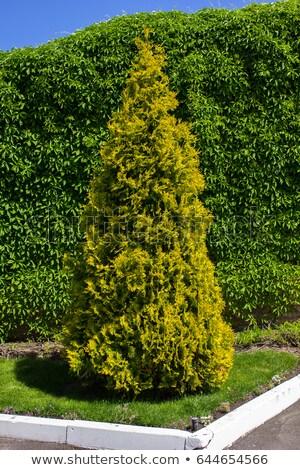 Green Thuja orientalis ' Elwangeriana aurea'  Stock photo © Virgin