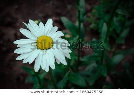 Close up Snail on yellow Chrysanthemum flowers Stock photo © Yongkiet