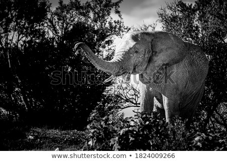 Elephant tusks and trunk Stock photo © AchimHB