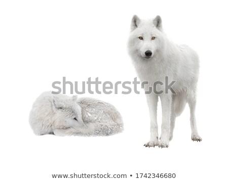 ártico lobo grama blue sky neve inverno Foto stock © chris2766