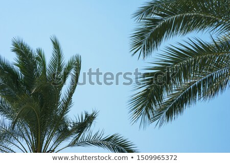 A palm plant and a clear blue sky Stock photo © bluering