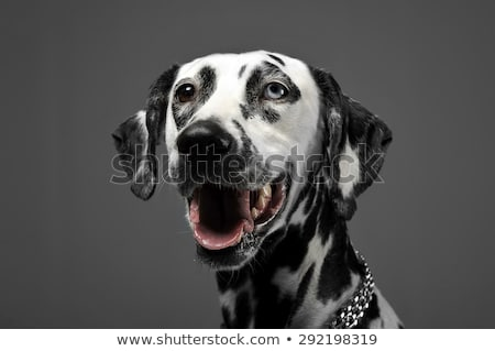 cute dalmatians portrait in gray background photo studio Stock photo © vauvau
