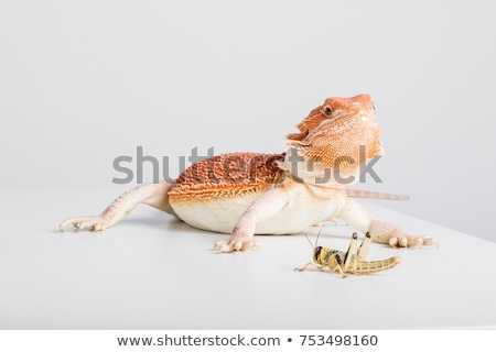 bearded dragons eating cricket Stock photo © cynoclub