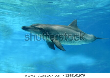 Common bottlenose dolphin Stock photo © prill