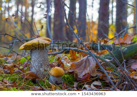 small and big cep grow in wood stock photo © romvo