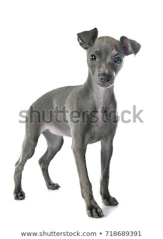 puppies italian greyhound Stock photo © cynoclub