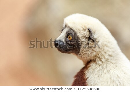 coquerels sifaka profile stock photo © yhelfman