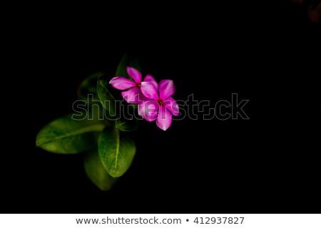 Mor çiçekler siyah örnek doğa sanat Stok fotoğraf © colematt
