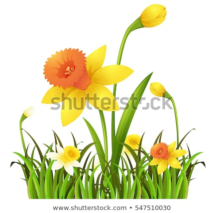 Sarı nergis çiçekler çalı örnek çiçek Stok fotoğraf © colematt