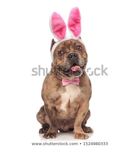 adorable panting american bully wearing easter bunny ears Stock photo © feedough