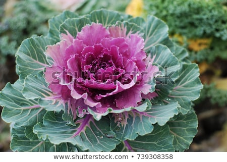 Ornamental kale heads with purple and green leaves Stock photo © sarahdoow