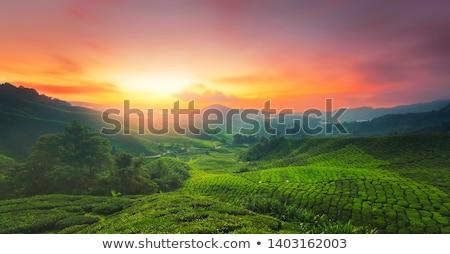 Tea ültetvény csetepaté textúra fa levél Stock fotó © szefei
