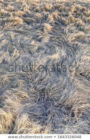трава ветер снега высушите льда Сток-фото © skylight