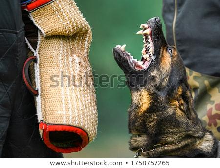 ジャンプ 小さな 犬 スポーツ ストックフォト © cynoclub