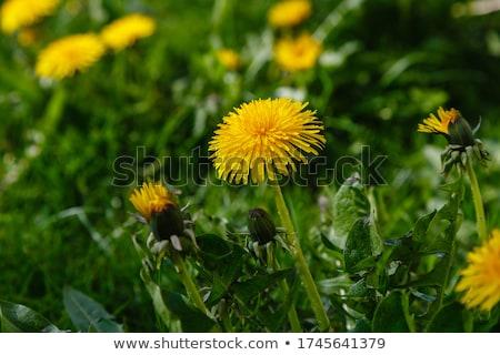 タンポポ 花 咲く 緑 春 自然 ストックフォト © ia_64