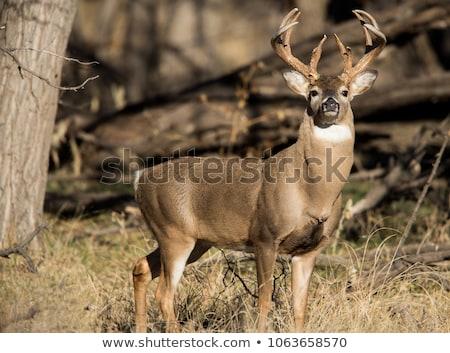 鹿 バック 立って 早朝 霧 フィールド ストックフォト © brm1949