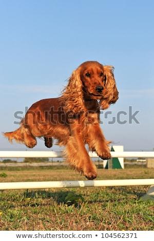 Mozgékonyság fajtiszta verseny kutya sport fekete Stock fotó © cynoclub
