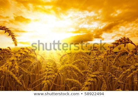 golden sunset over harvest Stock photo © mycola