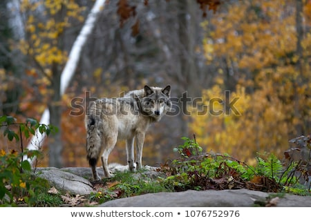 Wild Timber wolf Stock photo © pictureguy